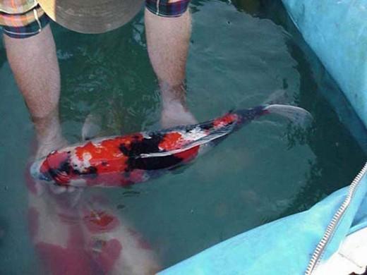 shoi koi food and koi fish breeding