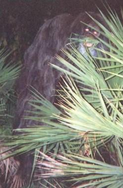 Skunk Ape of Florida.