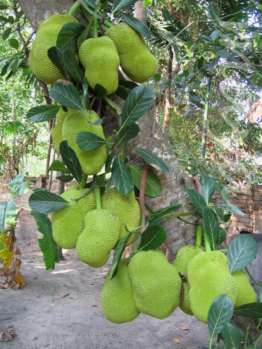 Jackfruit in Kerala