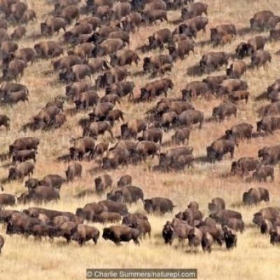 Bison had survived for 2 million years until humans arrived