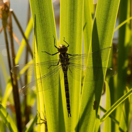 Female dragonflies fake sudden death to avoid male advances