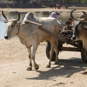 Rice farming in India much older than thought, used as 'summer crop' by Indus civilisation