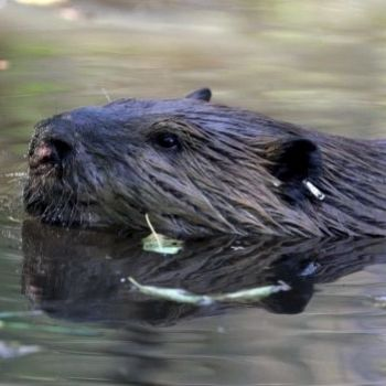 Scientists map genome of iconic beaver as gift for Canada's 150th birthday