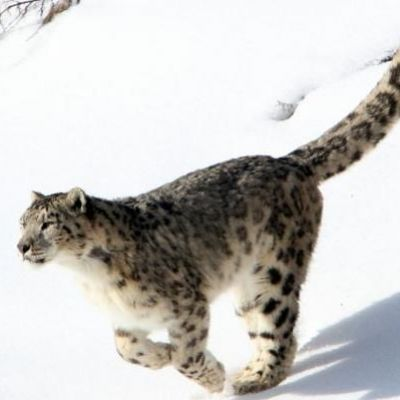 Snow leopard features three sub-species, scientists discover