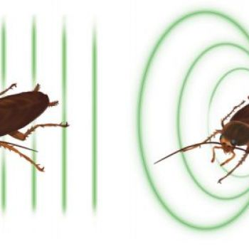 The curious case of cockroach magnetization