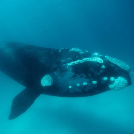 UK scientists bid to solve mystery deaths of hundreds of baby southern right whales