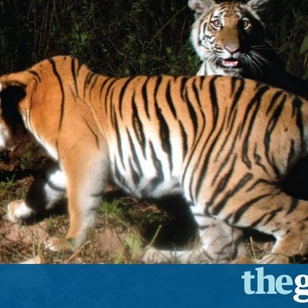 Nearly extinct tigers found breeding in Thai jungle