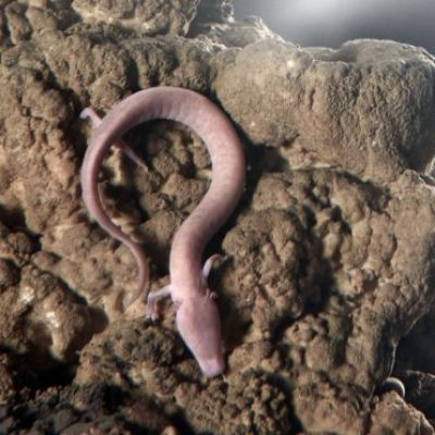 Olm eggs: Tense Wait for Baby Slovenian 'Dragons'
