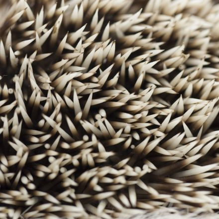 Hedgehogs Hold the Secret to Preventing Concussions