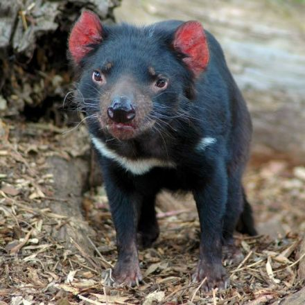 Researchers Find Potential Cure for Tasmanian Devil Facial Tumor Disease.