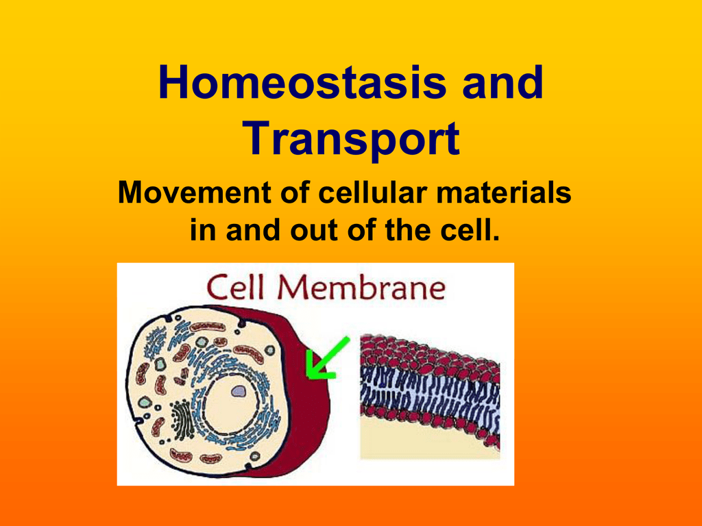 Homeostasis And Transport Powerpoint
