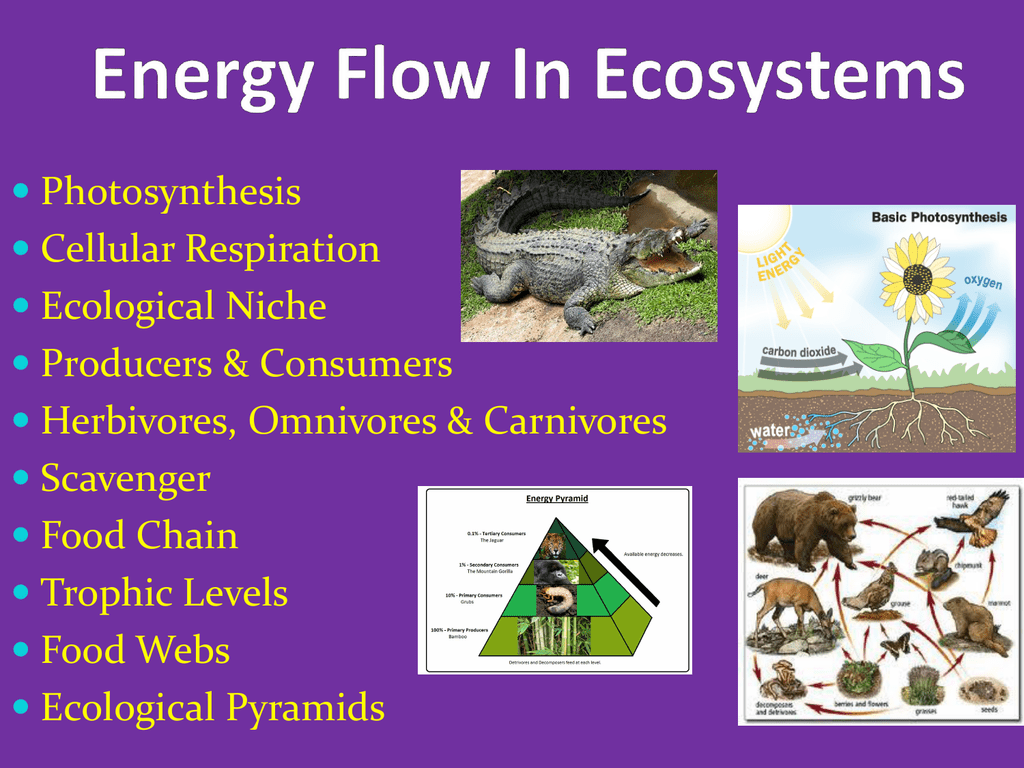 Energy Flow In Ecosystems Powerpoint