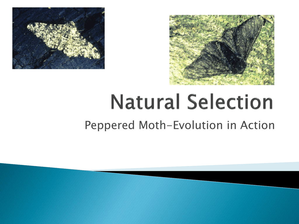 Peppered Moth Evolution In Action Natural Selection
