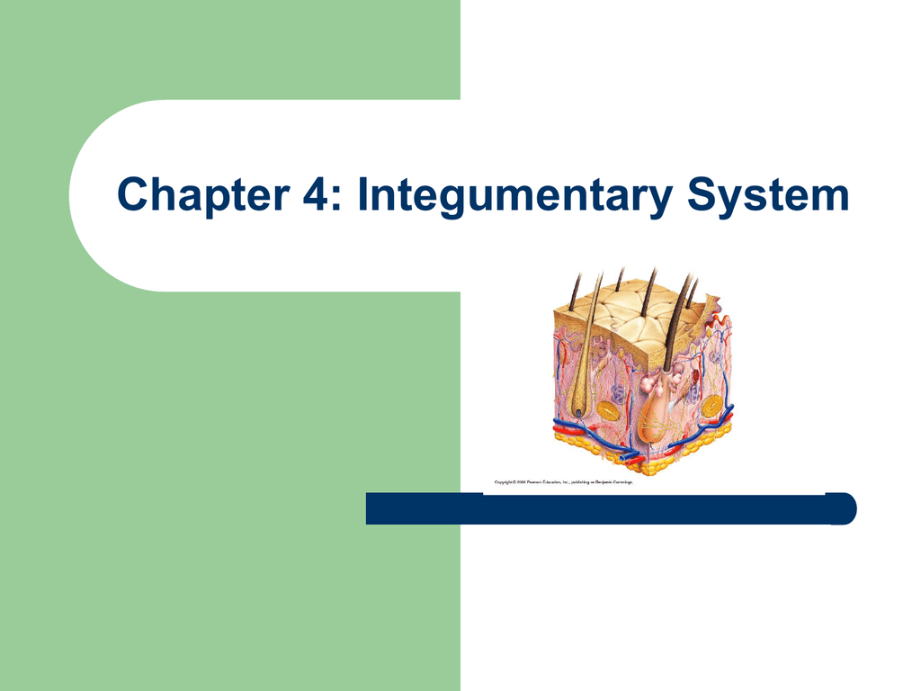 Chapter 4 Integumentary System