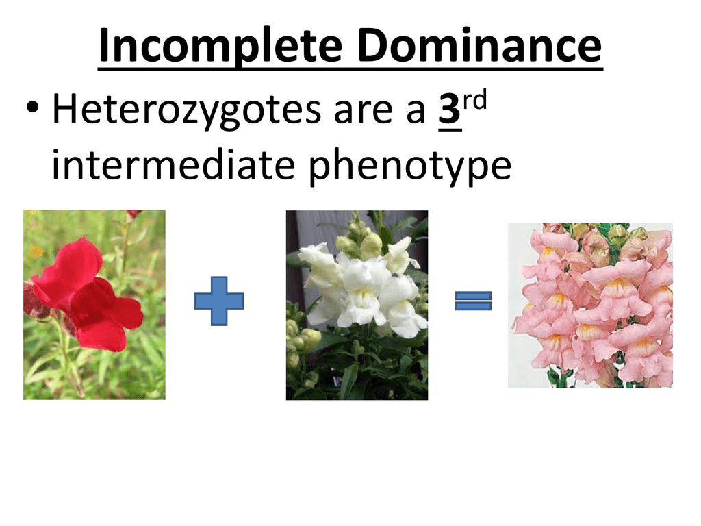Incomplete Dominance 3 Intermediate Phenotype Rd