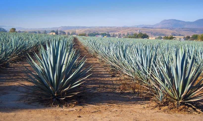 Голубая агава: любимое растение индейцев, из которого делают знаменитую текилу