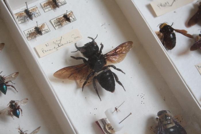 Зачем самым большим пчелам в мире такие странные челюсти