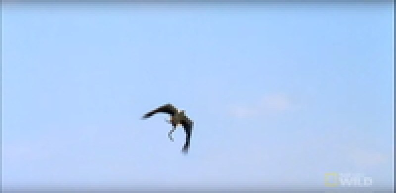Видео: Орел против морской змеи