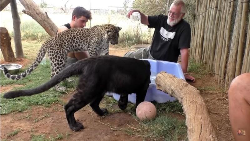Видео: Пара молодых леопардов играет вместе с людьми в бассейне