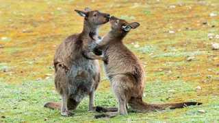 Australia salvaje: el desierto del canguro rojo [2015] [WEBDL]