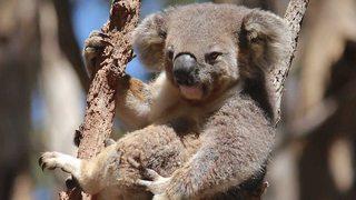 Australia salvaje: El bosque de los koalas [2015] [WEBDL]