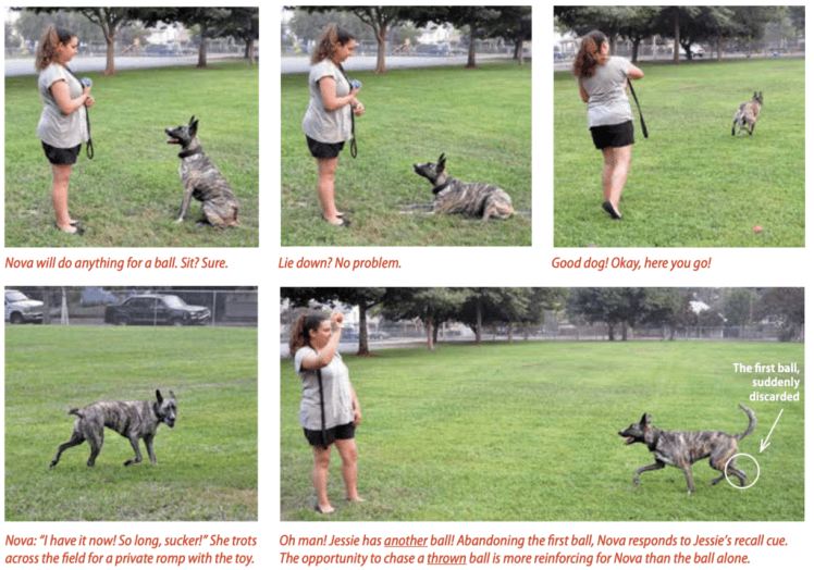 Owner and dog in a park training with a ball doing positive reinforcement for sitting, lay down, and recall.