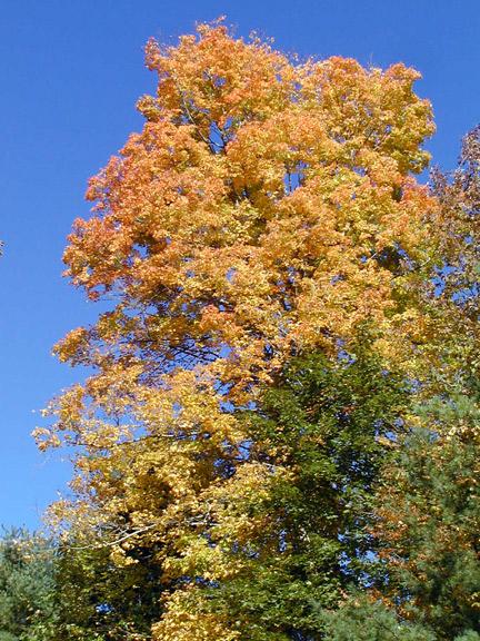 04-gold-tree