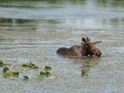 moose in the water