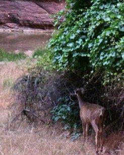 deer-at-Zion