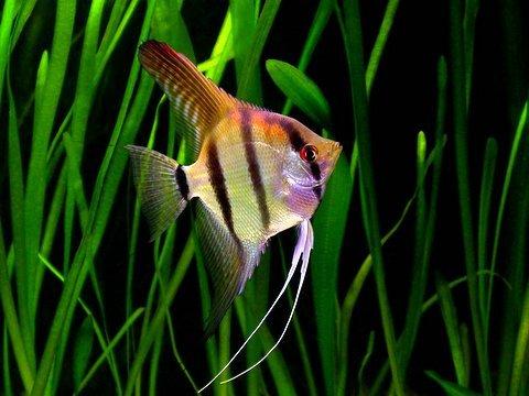 cá thần tiên sống trong hồ cây