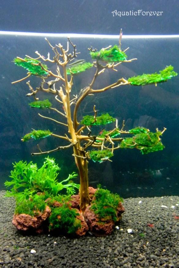 rêu mọc trên tán lũa bonsai