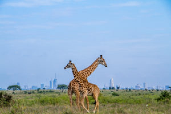 Maasai Giraffes in Nairobi National Park, on the outskirts of Nairobi, Kenya