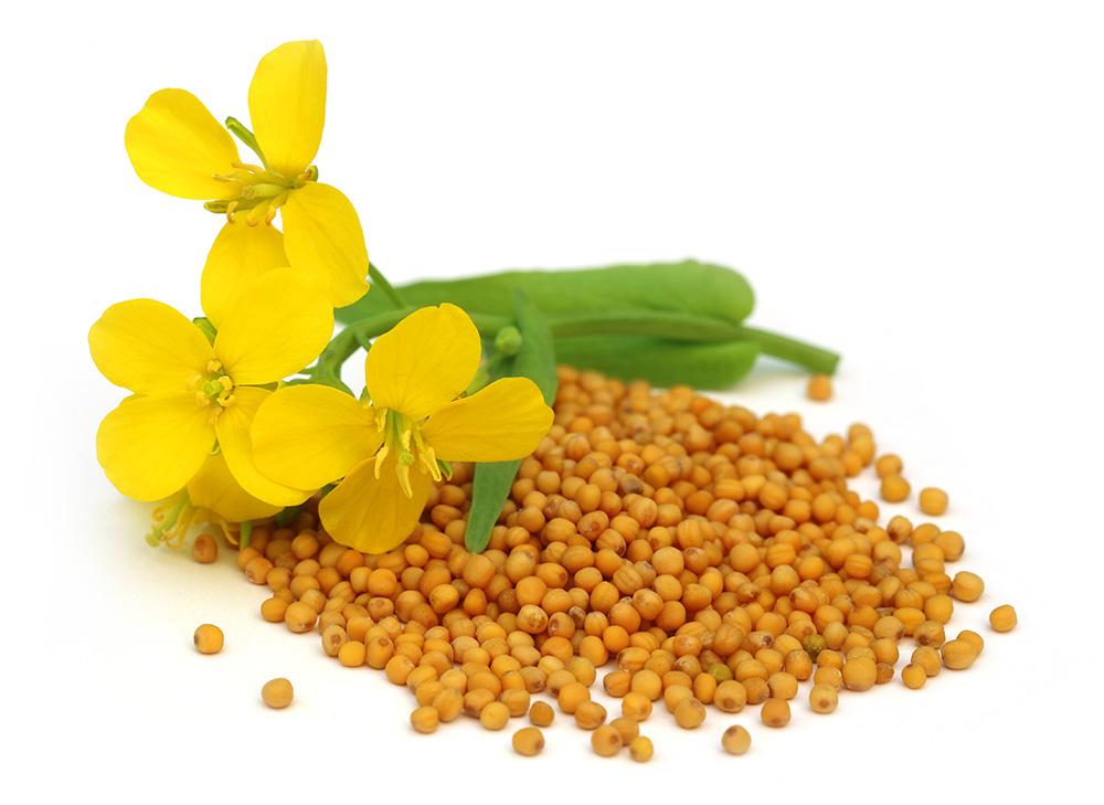 Organic mustard flower with seeds