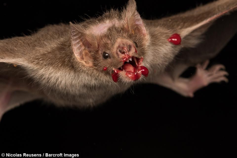 Bloody Bats: Vampire Bats Feast On Prey