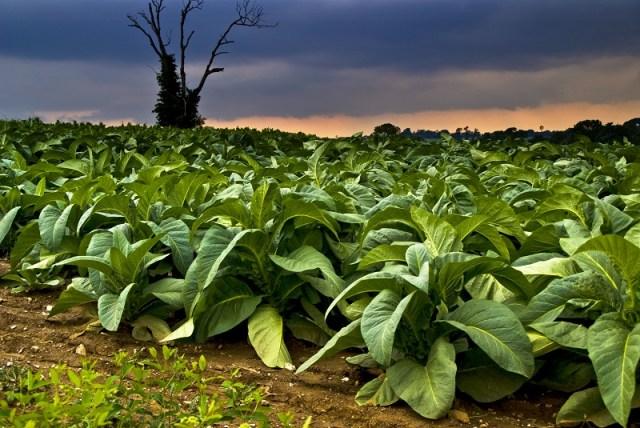 cliomakeup-fumare-fa-dimagrire-piante-tabacco-2