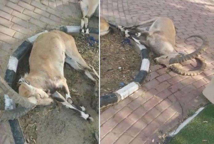 """""""Wildlife"""" Reveals the cause of the death of two Baljurashi deers"""