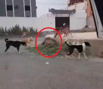 stray dogs attacking