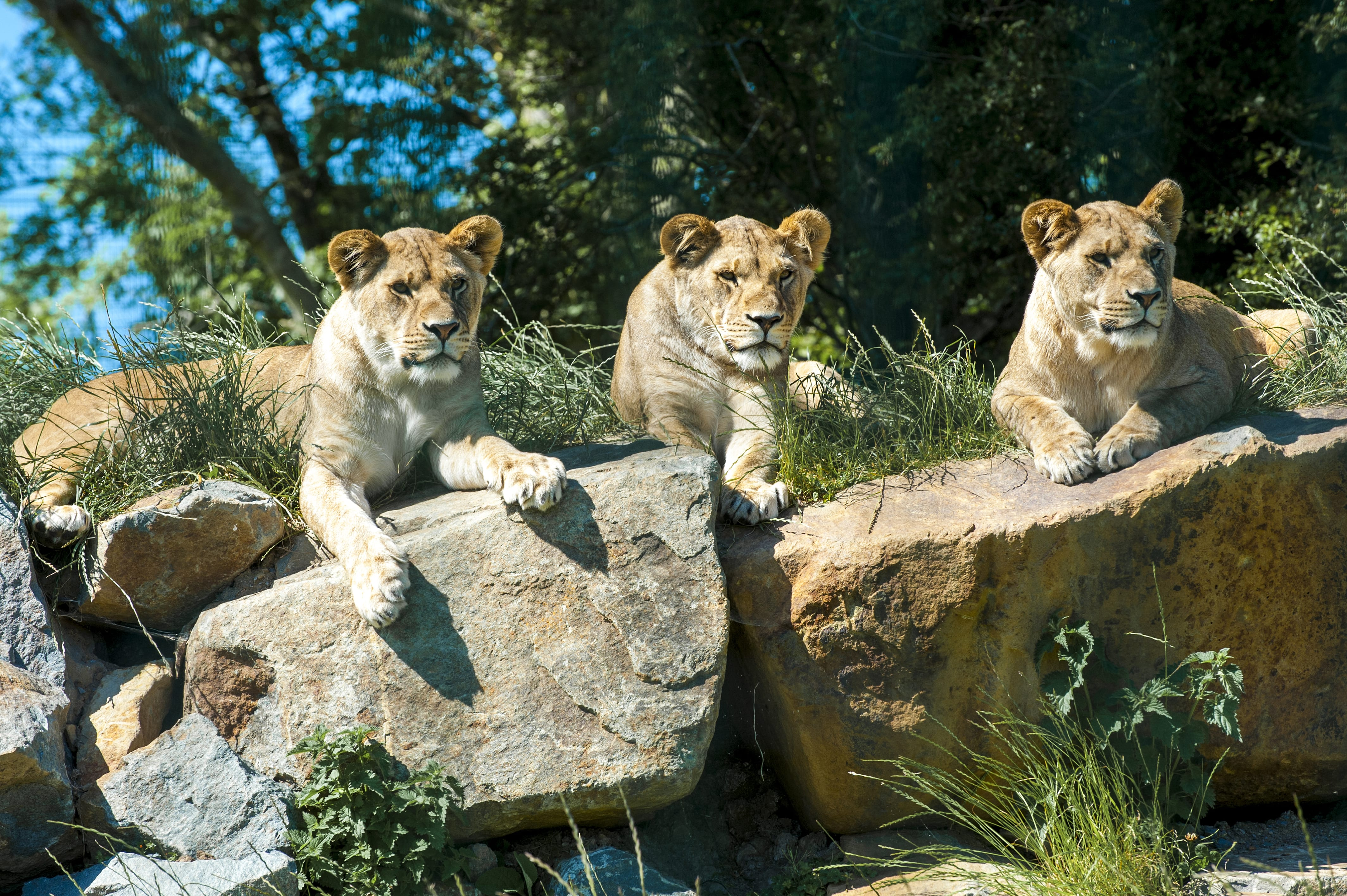 Fun Facts About Lions African Lion Information For Kids