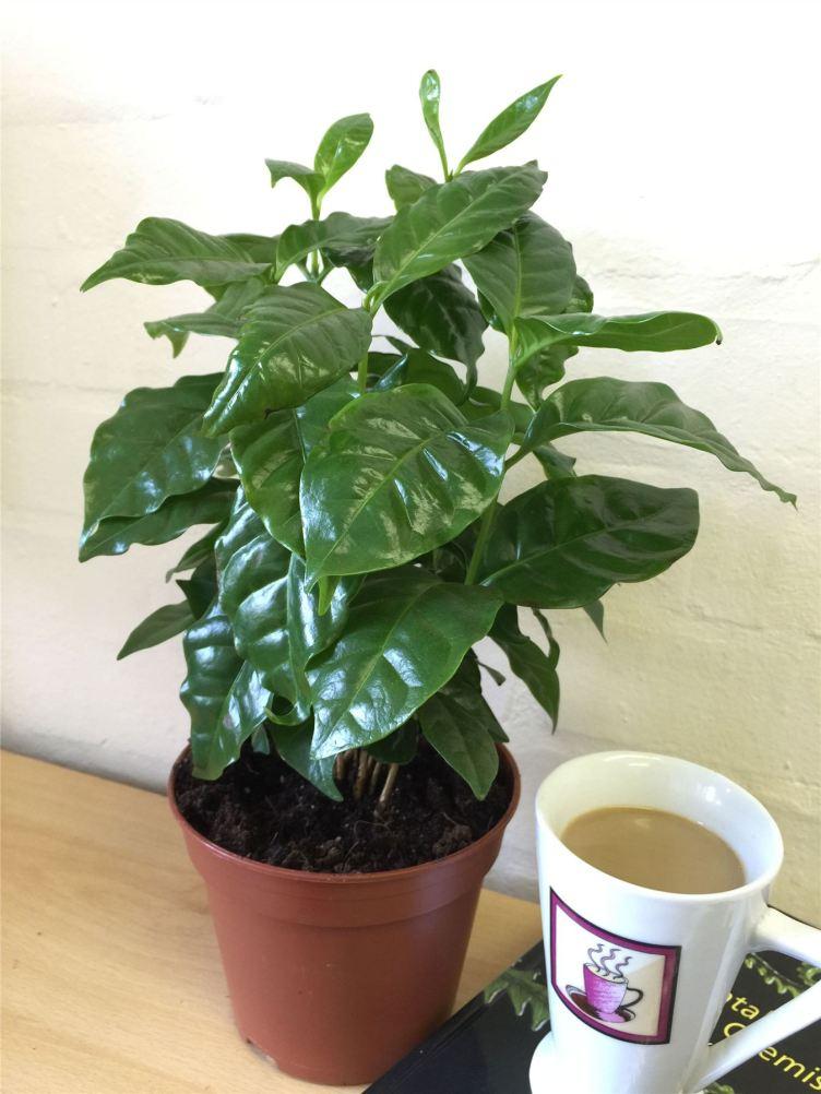 1 Arabica Coffee Plant Tree in Pot Indoor house Garden ...