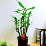 Lucky Bamboo Group Plant In Soil White Gravel Topping Pot House Office Easy Care Ebay
