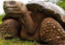 Эти галапагосские черепахи вернулись домой после спасения своего вида