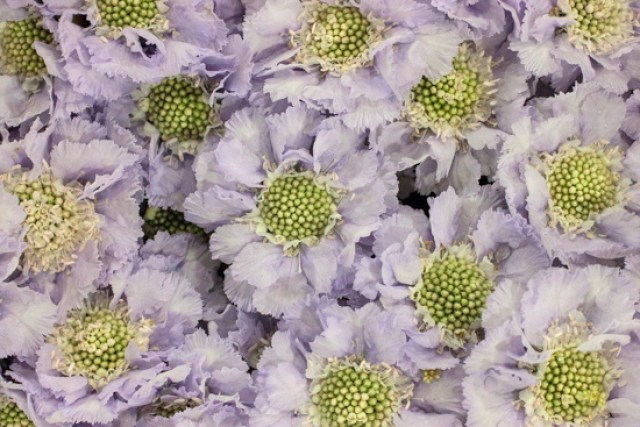 Image result for scabiosa lavender covent garden