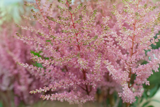 Image result for covent garden astilbe europa