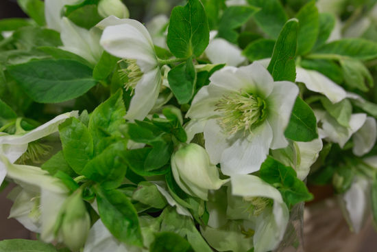 Helleborus orientalis Queens White at New Covent Garden Flower Market February 2017