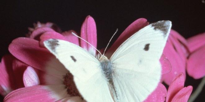 Les papillons nous donnent des leçons sur l'énergie solaire