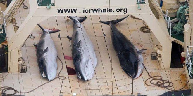 Le Japon reprend la chasse à la baleine dans l'océan Arctique malgré l'interdiction