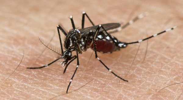 L'histoire de Zika, virus émergent transmis parlesmoustiques