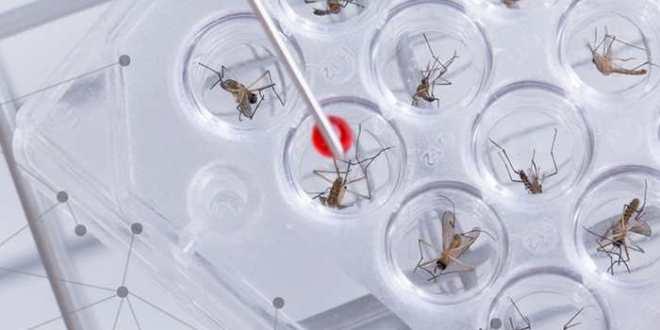 L'OMS envisage les moustiques OGM pour lutter contre le virus Zika