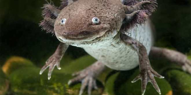 Comment certaines salamandres régénèrent-elles leurs membres ?