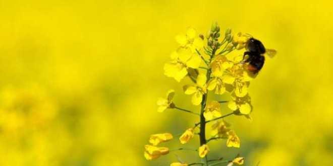 Les Néonicotinoïde associés au déclin des abeilles